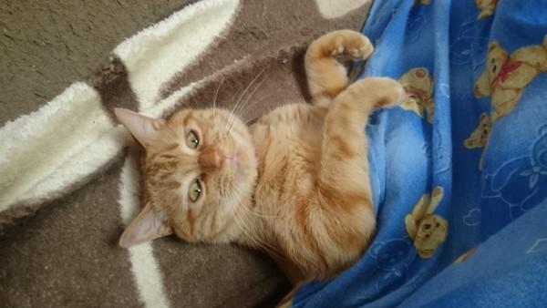 こたつ布団から顔を出して仰向けになっている猫