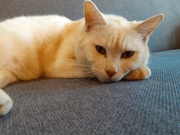 猫 雑種(ミックス) ササミの写真