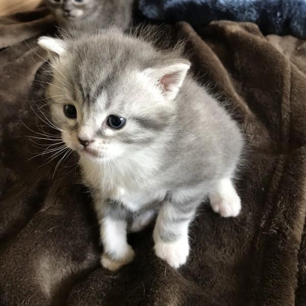 猫 雑種(ミックス) ピノコの写真
