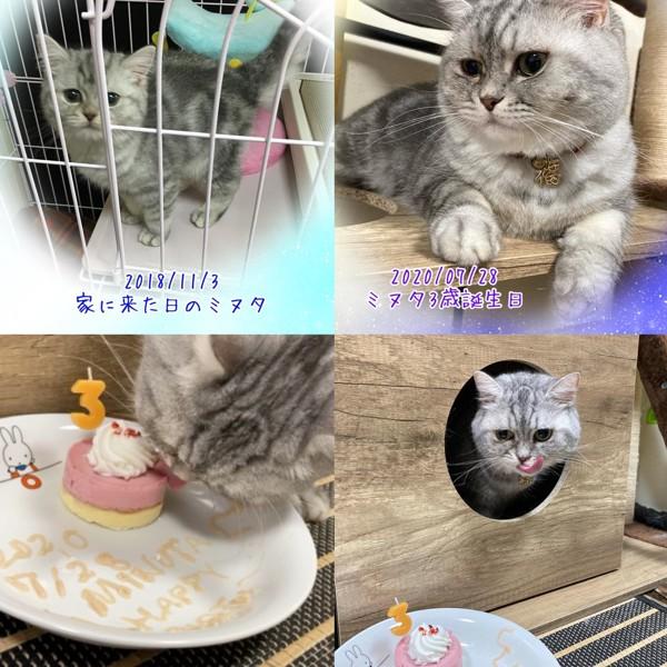 猫 ミヌエット ミヌタの写真