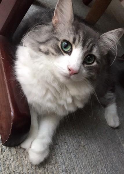 猫 ノルウェージャンフォレストキャット セラの写真