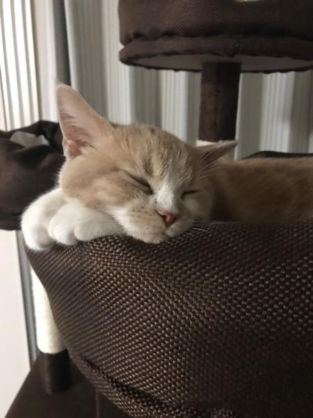 猫 ブリティッシュショートヘア かむいの写真