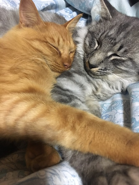 猫 雑種 きなこ&マロンの写真