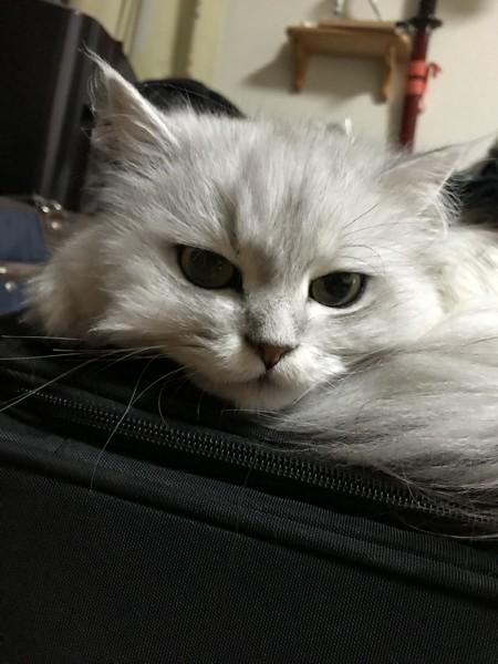 猫 チンチラペルシャ アオの写真