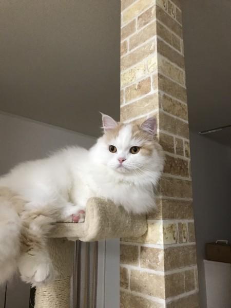 猫 ミヌエット うりの写真
