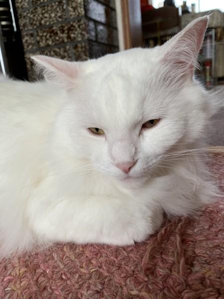 猫 メインクーン ジーナの写真
