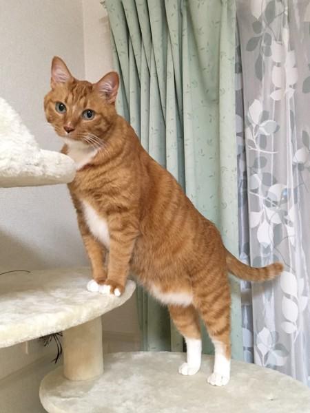 猫 雑種(ミックス) ゲンくんの写真