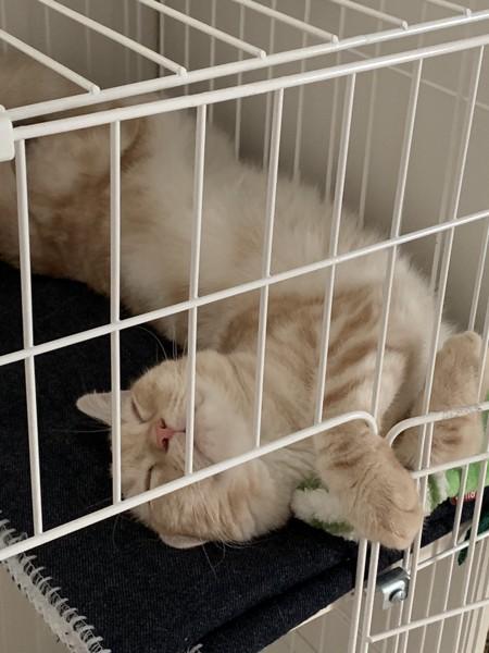 猫 スコティッシュフォールド うづきの写真