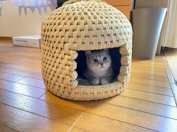 猫 スコティッシュストレート 福ちゃんの写真