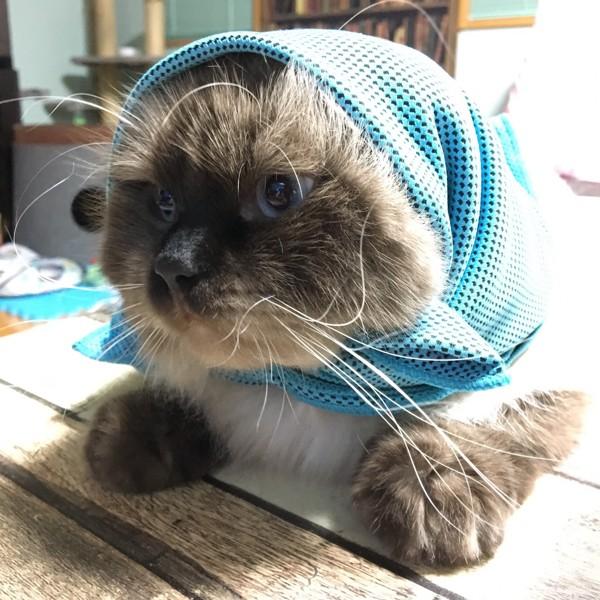 猫 ヒマラヤン Mitoの写真