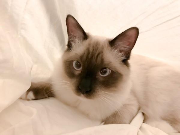 猫 ラグドール 宮(みや)の写真