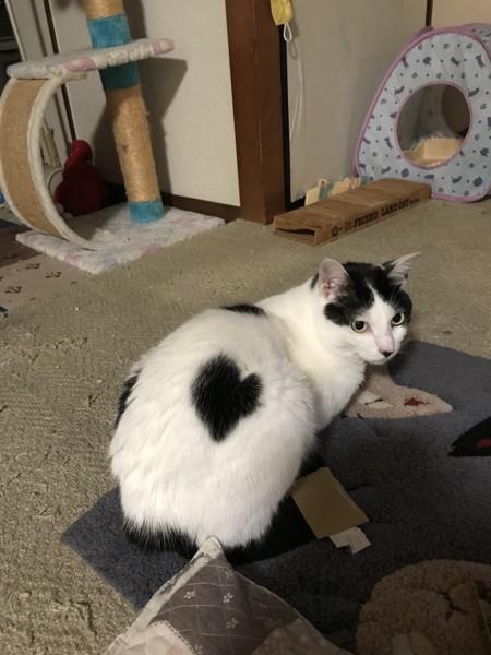 猫 白黒 こにゃの写真
