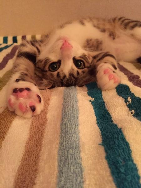 猫 キジシロ ベルの写真