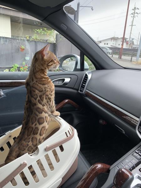 ベンガル猫ちゃん