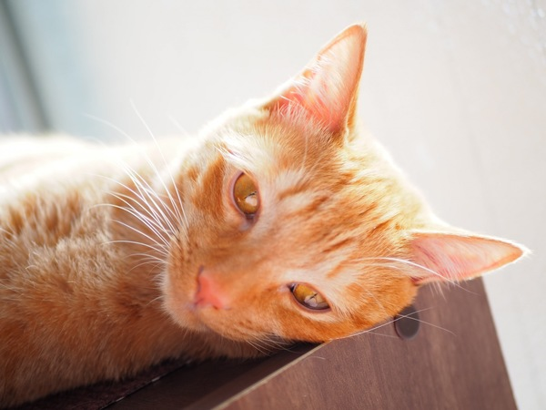 猫 茶トラ 姫(ひめ)の写真