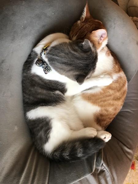 猫 スコティッシュフォールド ちゃんぴ&七宝の写真