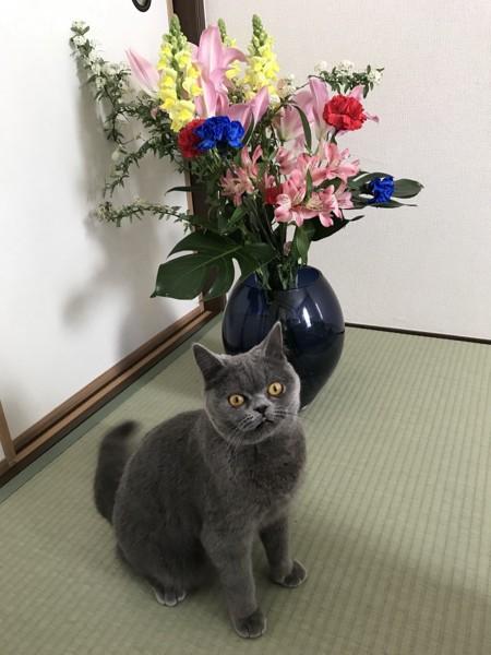 猫 ブリティッシュショートヘア ピオンの写真