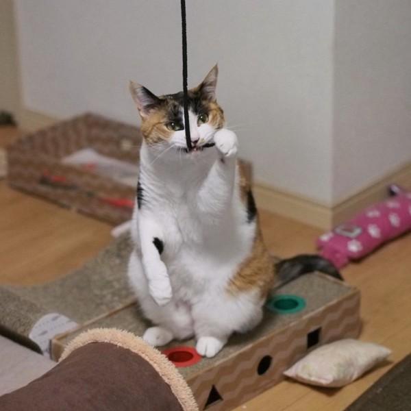猫 三毛猫 ルビーの写真