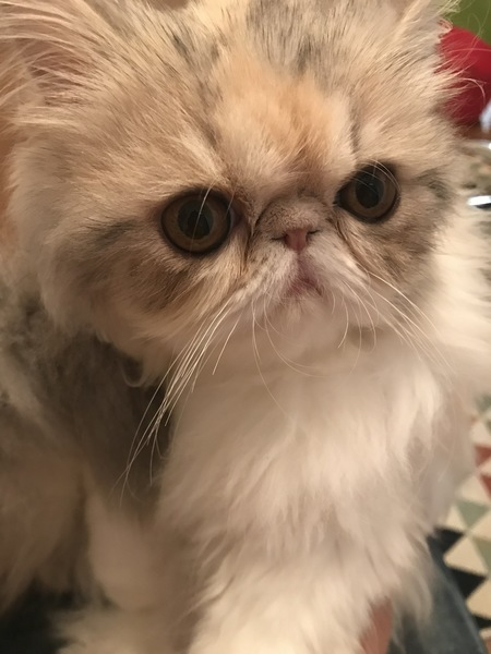 猫 エキゾチックロングヘア しずくの写真