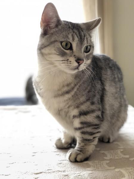 猫 キンカロー Cortoの写真