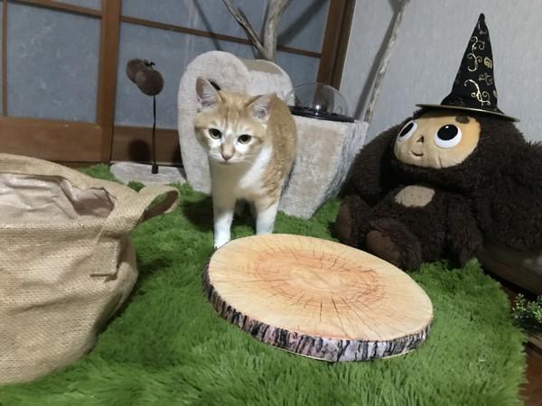 猫 茶白トラ さくらの写真
