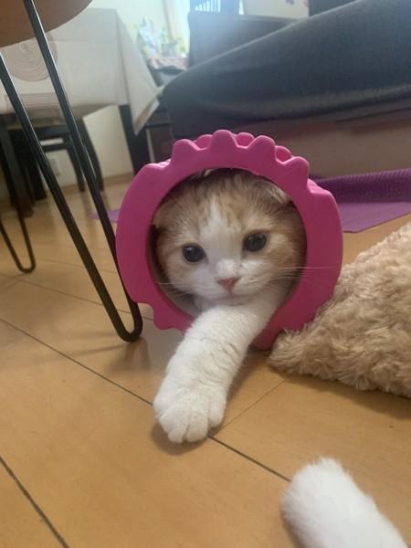 猫 スコティッシュフォールド めかぶの写真