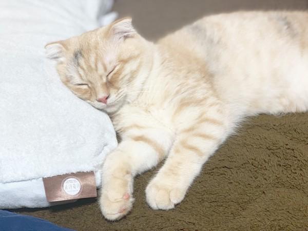 猫 スコティッシュフォールド モンテの写真