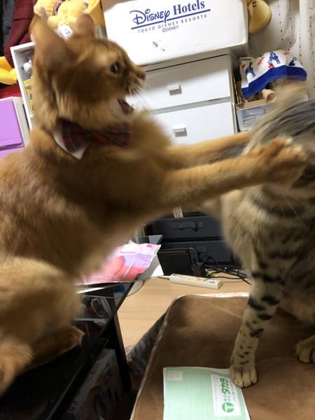 猫 ソマリ レックスとシンバの写真