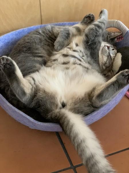 猫 サバトラ るーの写真