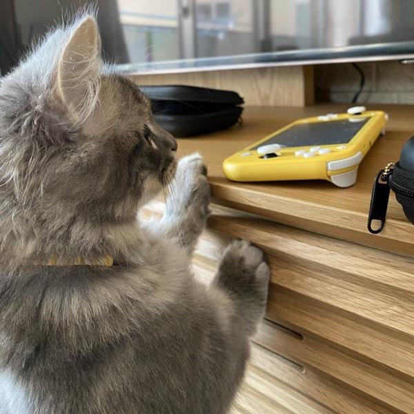 猫 マンチカン ノエルくんの写真