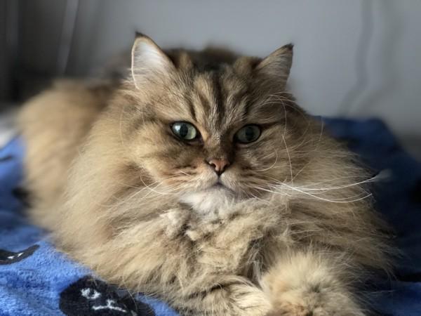 猫 ペルシャ ダウニーの写真