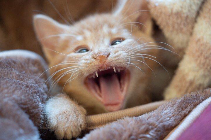 猫 茶トラ かいの写真