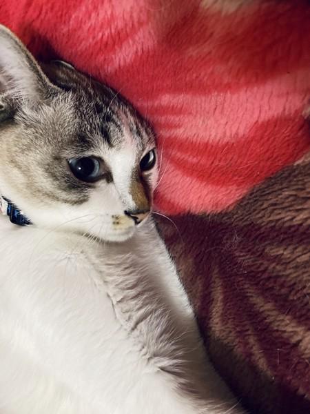 猫 サバシロ 健太の写真