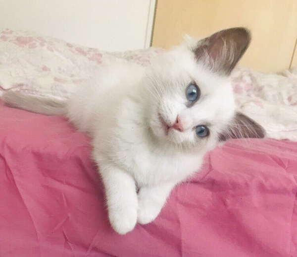 ベッドの縁に手をかけて首をかしげるラグドールの子猫