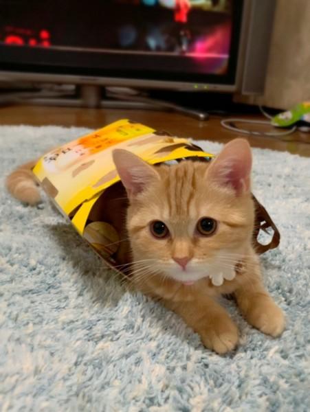 猫 マンチカン モカの写真