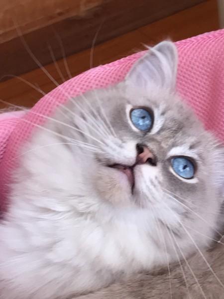猫 ラグドール シーザー(シーちゃん)の写真