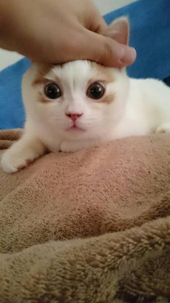 猫 スコティッシュフォールド トロちゃんの写真