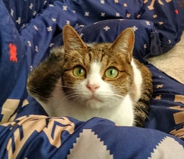猫 MIX みやびの写真