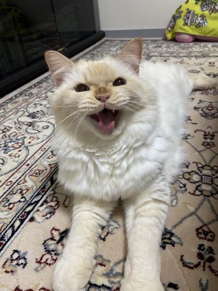 猫 ヒマラヤン ロッキーの写真
