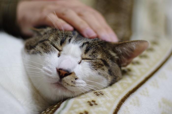 頭を撫でられて気持ちよさそうに目を閉じている猫