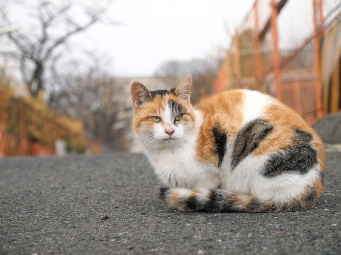 大きな三毛猫