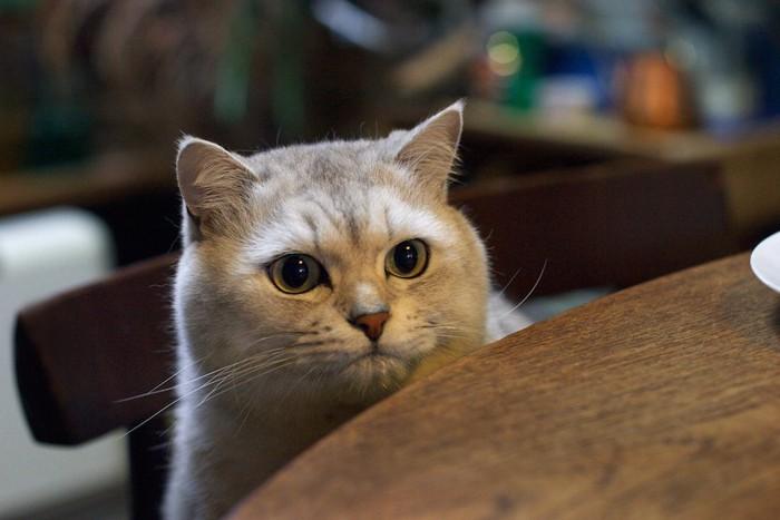 テーブルから顔をのぞかせている猫
