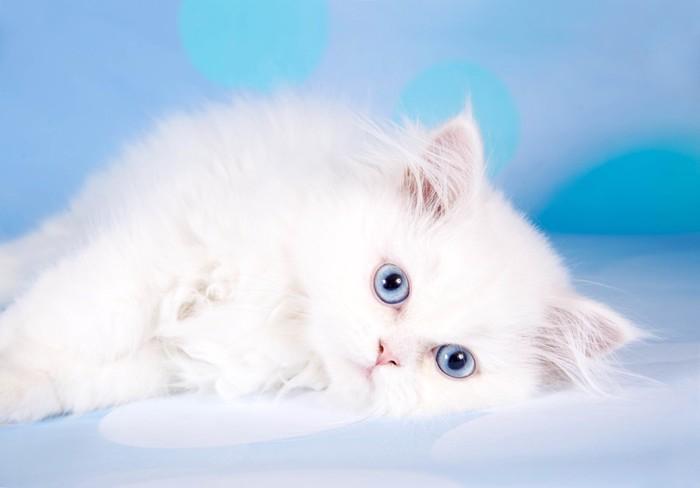 青い目のペルシャ