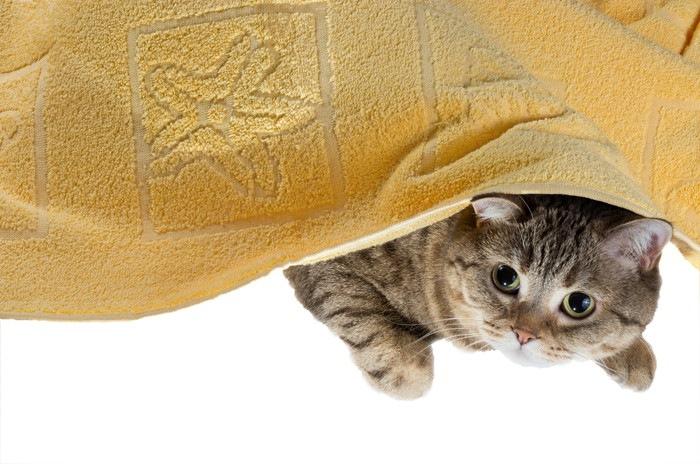 タオルにくるまった猫