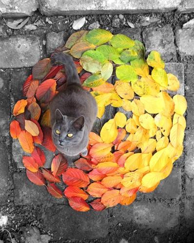 落ち葉とロシアンブルー