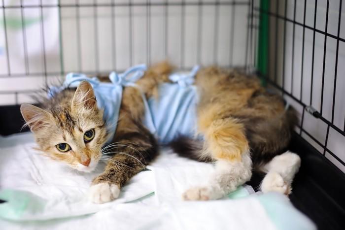 術後服を着る猫
