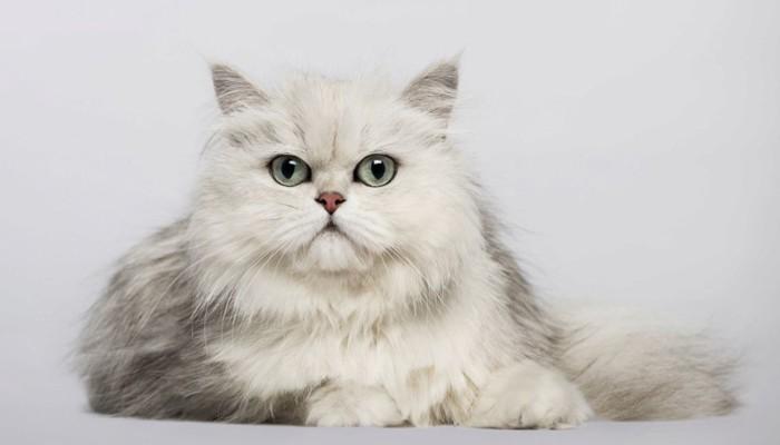 チンチラペルシャ猫