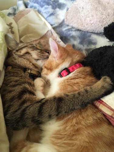 くっついて眠るキジトラと茶トラ白