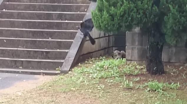 威嚇する母猫と飛ぶカラス