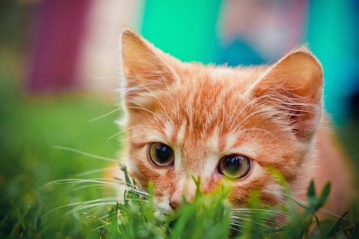 草陰から獲物を狙う猫